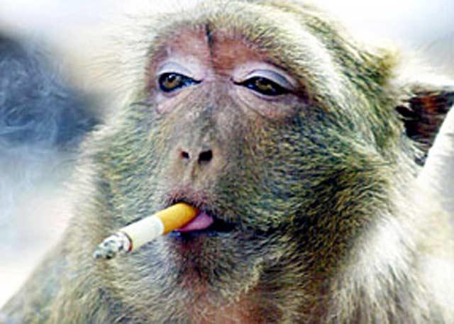 http://petrukmoroto.files.wordpress.com/2009/04/monkey-smoking3.jpg